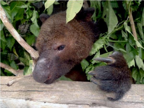 tree kangaroo