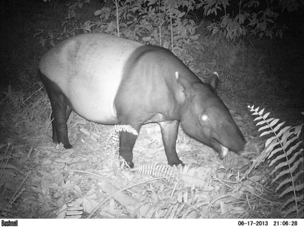 Tapir browsing on shrubs