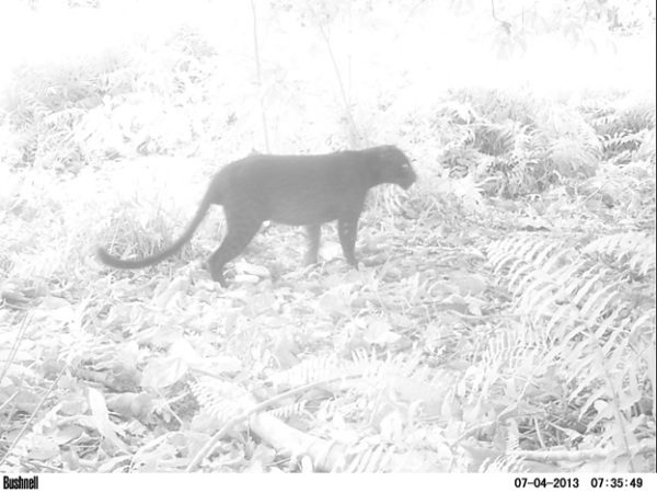 Black Panther, the only top predator (so far) in the peat swamp forest