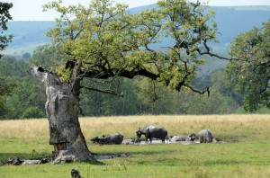 Figure 1. Wood-pasture with veteran, hollowing oak and traditional management by buffalo. Photo by Orsolya Toth.