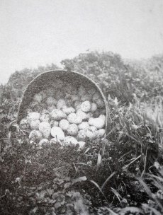 harvest of eggs in 1922 (pictured here) used to be very high. C. E. Crompton