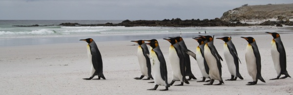 Caption: The Falklands are the site of the most northerly known King Penguin rookery in the world.
