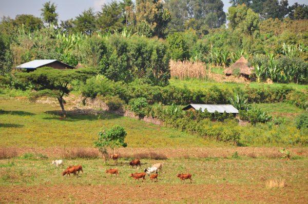 03_Landscape_cows